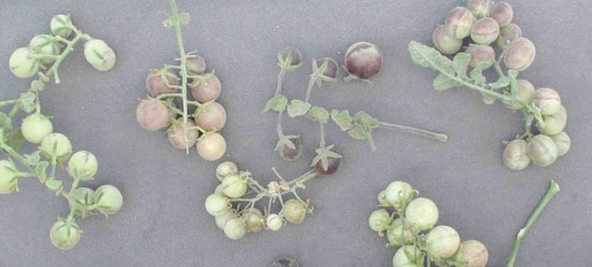 On the Tomato Trail: In Search of Ancestral Roots | Barry Estabrook